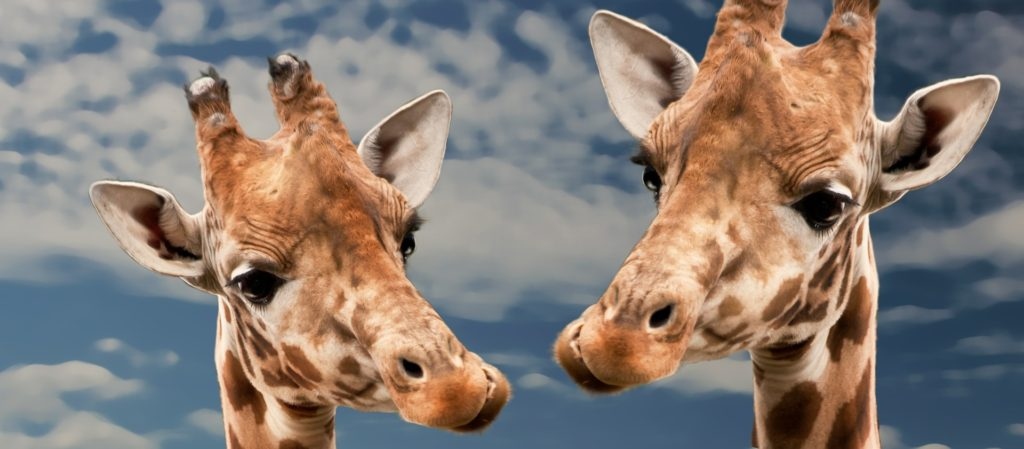 giraffe-613662_1920