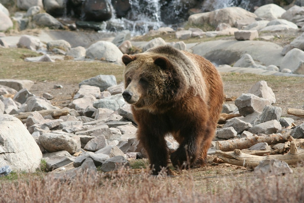 grizzly-386339_1920