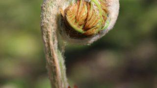テンカラ毛鉤の伝統的材料。ゼンマイの綿毛でソフトハックル・フライを巻いてみること。
