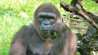 gorilla-65545__180