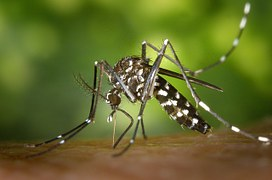 tiger-mosquito-49141__180