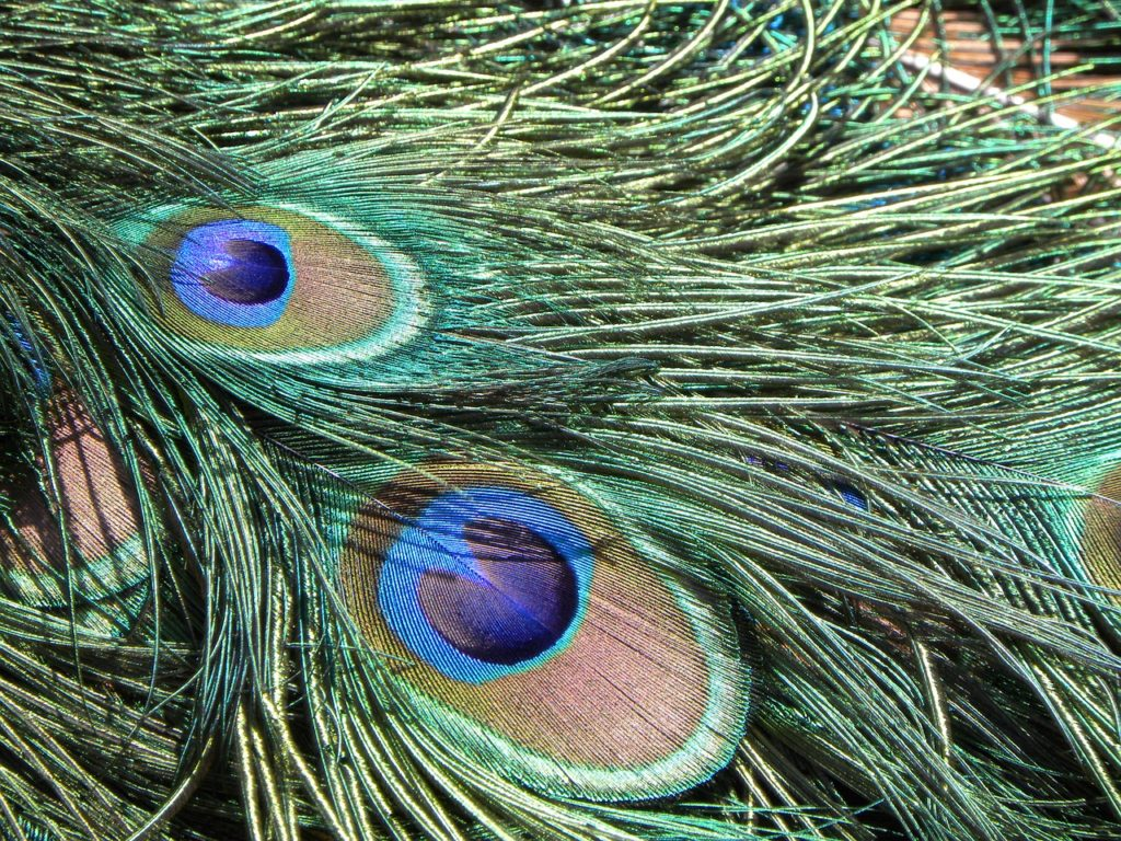 peacock-996563_1280