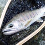 うらたんざわ渓流釣り場でリハビリ釣行をしてきましたな。